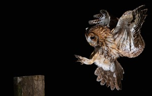 Public urged to listen for 'twit-twoo' amid concern over tawny owls decline
