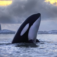 Contaminated seas could see killer whale populations halved in decades