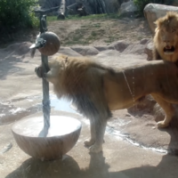 Watch two lions getting to grips with a tricky new toy