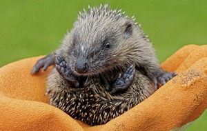 Gardening: Some of the dos and don't of helping hedgehogs to hibernate peacefully