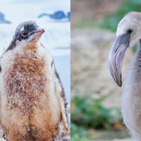 Watch these adorable baby flamingos and penguins try to paint with their feet