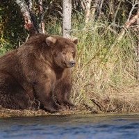 This national park is celebrating its fattest bears ahead of hibernation season
