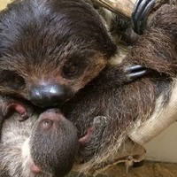 This baby sloth eating breakfast is all kinds of adorable