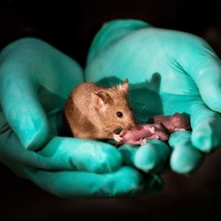 Baby mice with two mothers produced by scientists
