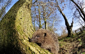 Stephen Colton's Take on Nature: A welcome visit from a hedgehog