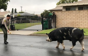 Pig 'the size of a mini horse' lured back home with Doritos