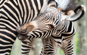Meet the newborn zebra foal who is boosting her endangered species