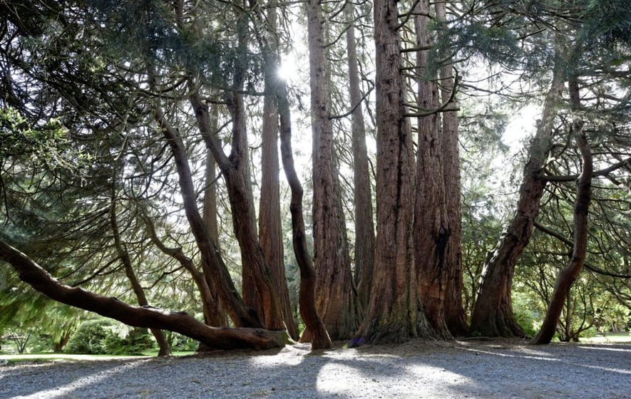 Redwood in Castlewellan crowned 'Northern Ireland Tree of the Year'