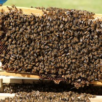 Bees' alarm clock recorded for first time by researchers