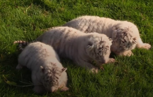 Three rare white Bengal tiger cubs have been born at a safari park in Crimea