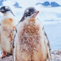 Same-sex penguin couple at Sydney Aquarium successfully hatch adopted egg