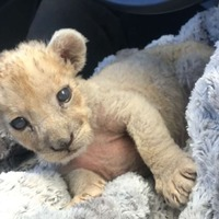 Baby lioness found in French garage