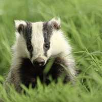 Badgers 'should be vaccinated not culled' to prevent bovine TB spread
