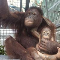 Watch: Baby orangutan and surrogate mum investigate film camera