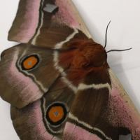 Moths use 'stealth fighter technology' to avoid being detected by bats