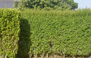The Casual Gardener: A hedge is a safe bet, be it for boundary, windbreak or beauty