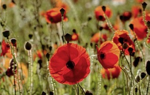 The Casual Gardener: Why poppy love ought to endure beyond November