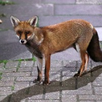RSPCA warns about dangers of sports nets after amputating trapped fox's tail