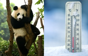 Adorable giant panda plays in the snow as cold weather hits the United States