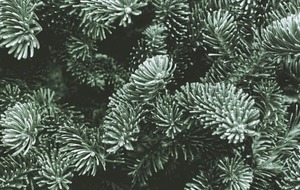 Christmas trees: The best ones to choose and how to care for them so they last longer