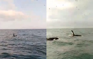Two orca whales spotted by a fisherman off the coast of Dublin