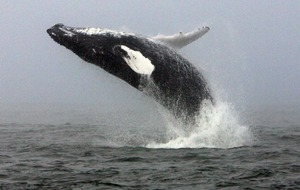 'Cultural revolution' sees humpback whale song change every few years
