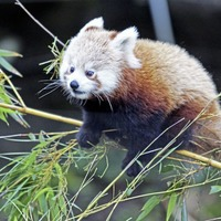 Belfast Zoo celebrates birth of endangered twin female red panda cubs