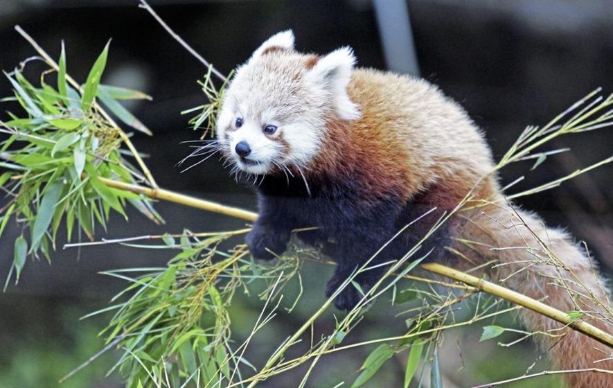 Wwf Belfast Zoo Celebrates Birth Of Endangered Twin Female Red Panda Cubs Shutterstock Belfast Zoo Celebrates Birth Of Endangered Twin Female Red Panda