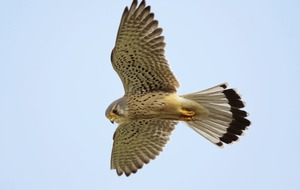 Take on Nature: In celebration of the kestrel, our smallest and most widespread falcon