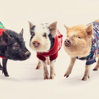 Just take a look at these pigs in Christmas jumpers