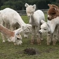 Watch as these alpacas become absolutely fascinated by a hedgehog