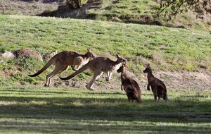 Giant red kangaroo dubbed 'Arnie of Roos' dies aged 12
