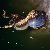 City frogs boast sexiest love songs, experts say
