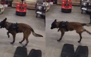 Confused police dog gets used to wearing new snow boots in adorable video