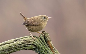 Take On Nature: Wren cruelly treated but entertainingly seen as Saint Stephen's betrayer
