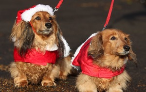 Dachshund through the snow: Seasonal sausage dogs in festive frolics