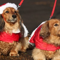 Video: Dachshund through the snow - 500 sausage dogs enjoy festive frolics