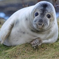 Seal pups' milk being contaminated by toxic chemicals draining into UK seas