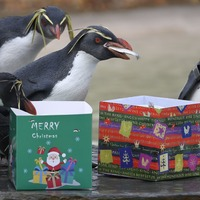 In Pictures: Christmas comes early for zoo animals