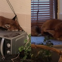 Family astonished to find fox on top of microwave as they sit down for breakfast