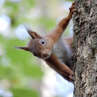 Red squirrel numbers surge in grounds of Northern Ireland's Mount Stewart estate