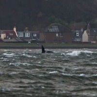 Famous orca spotted in Moray Firth leaves wildlife watchers 'jumping for joy'