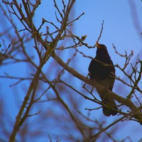 Take on Nature: At this time of year the blackbird offers hope in the dark of night