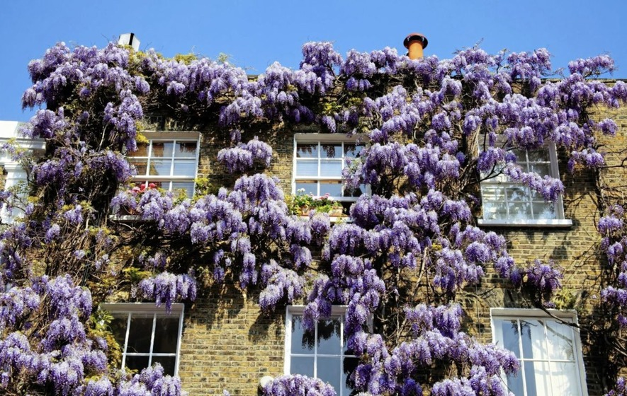 Gardening Four Tips On How To Have Your Wisteria Dripping With