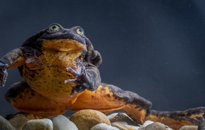 Romeo, 'world's loneliest frog', finally finds a partner