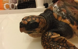 Rescued turtle critically ill at seal sanctuary