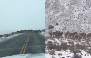 Watch amazing video as hundreds of elk cross a street in Washington state