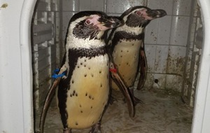 Stolen penguins picked up by police