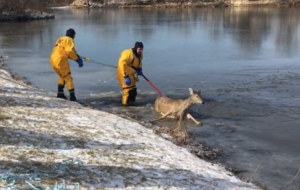 Watch: Deer rescued from frozen lake after falling through ice