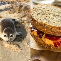 Tourists asked to stop feeding peanut butter and jelly sandwiches to seals